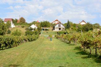 szőlő a Kőhegyen, a kilátó felé vezető úton