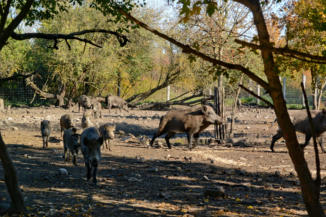 vaddisznók a Festetics Imre állatparkban