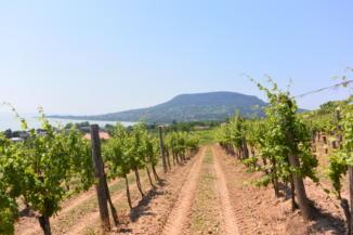 Badacsony egy szőlősorból nézve