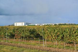 a szőlősorok mögött már feltűntek a Korda Filmpark épületei