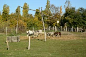 szürkemarhák a Festetics Imre állatparkban