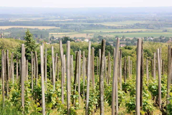 szőlősorok a hegyen